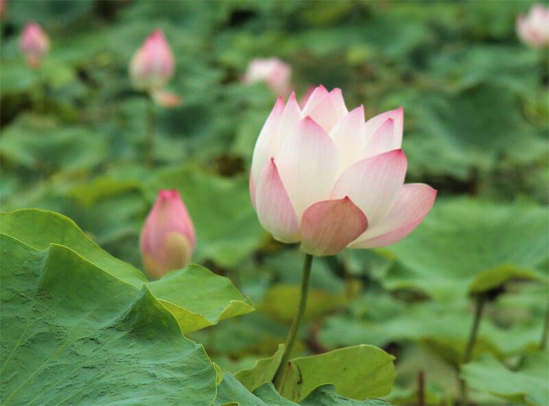 Lotos Blüte