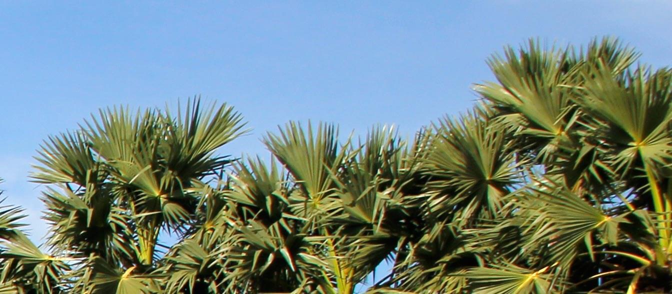 Süßes aus Kambodscha: Palmzucker