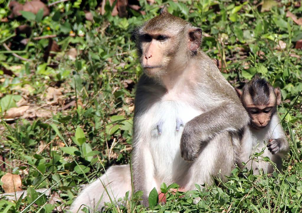 Affenmutter mit Baby auf dem Gelände von Angkor