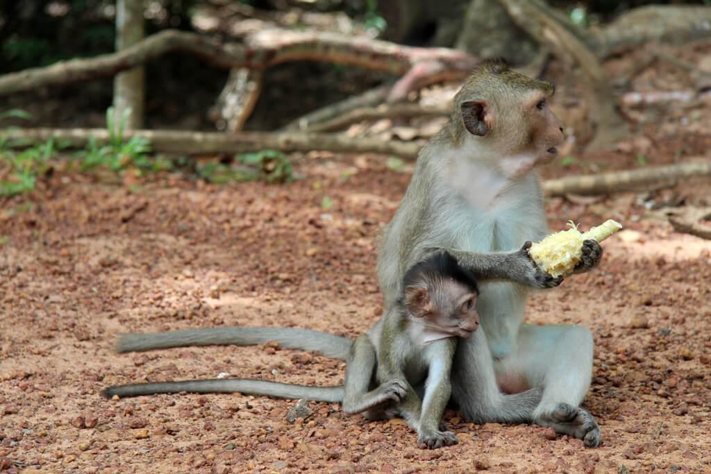 Freilebende Affen in Kambodscha