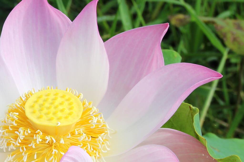 Lotusblumen: Galerie und Leserfotos