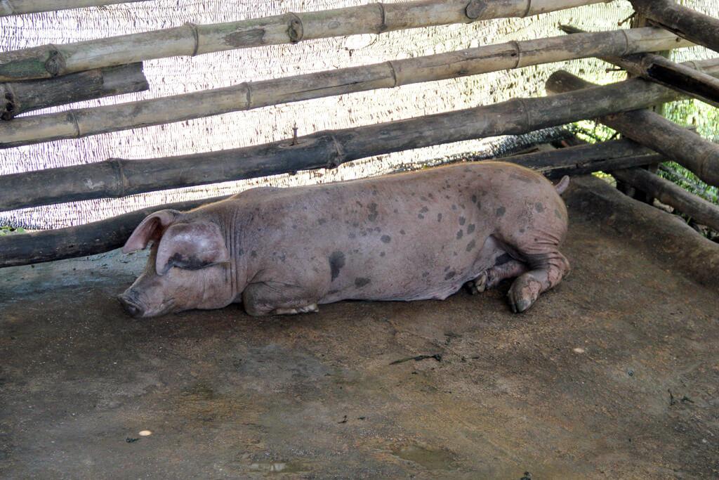 Even pigs look satified
