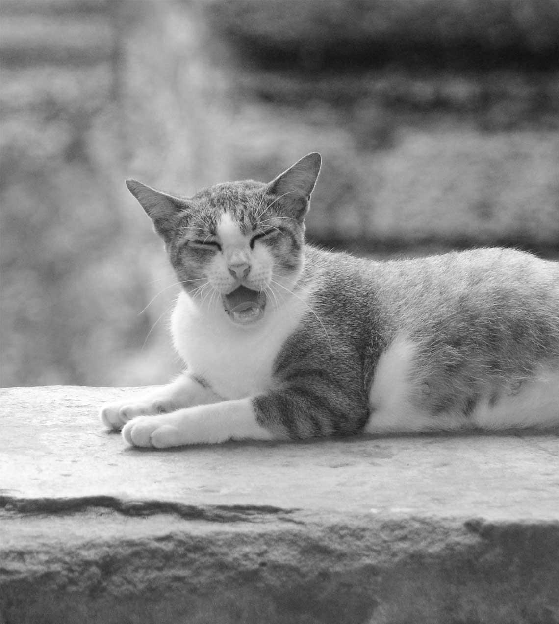 Gähnende Katze am Angkor Tempel