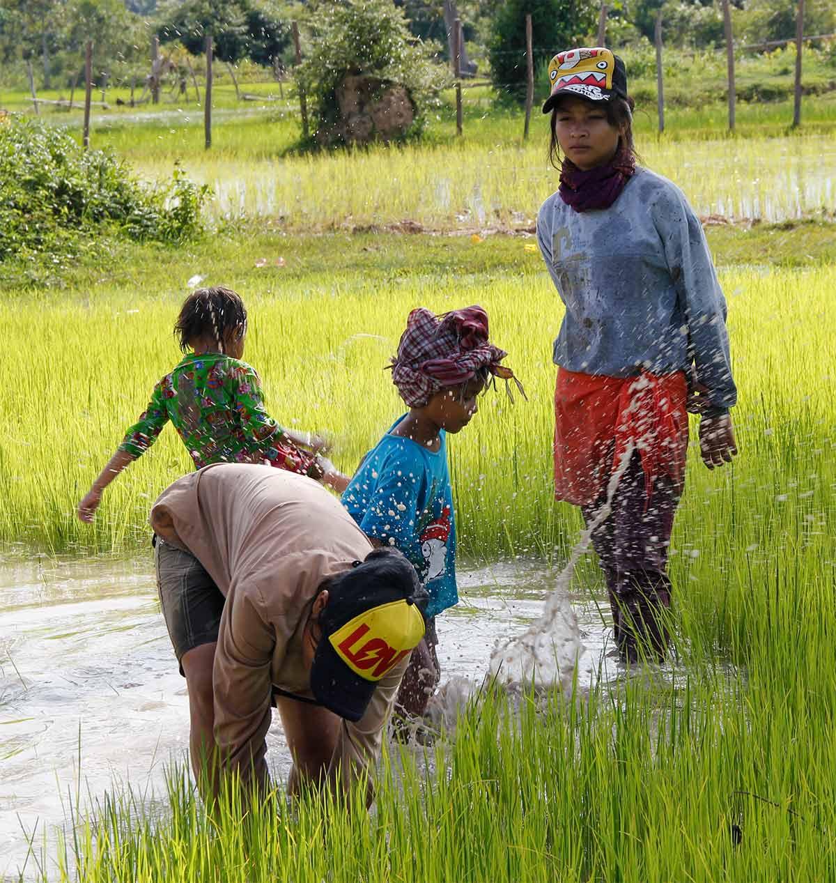 Reisernte - Siem Reap