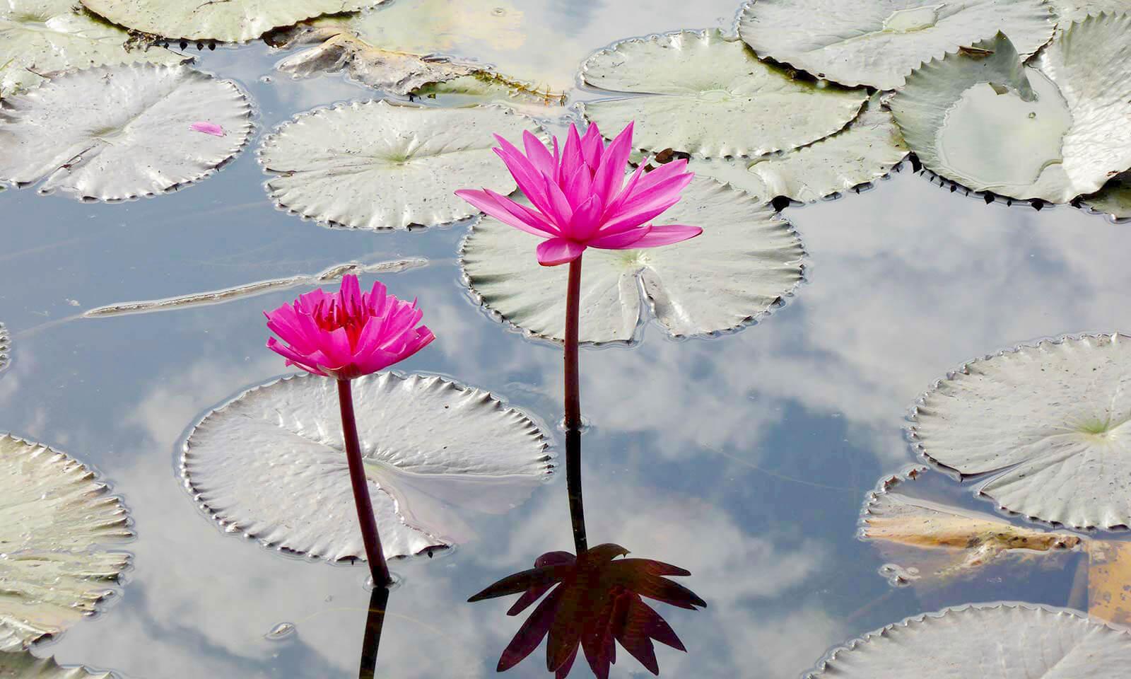 Wasserlilien - Siem Reap