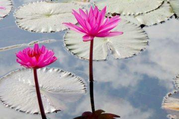 Wasserlilien in Siem Reap