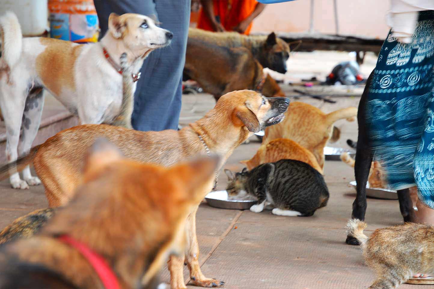 Hunde und Katzen in der Cats Pagoda in Siem Reap