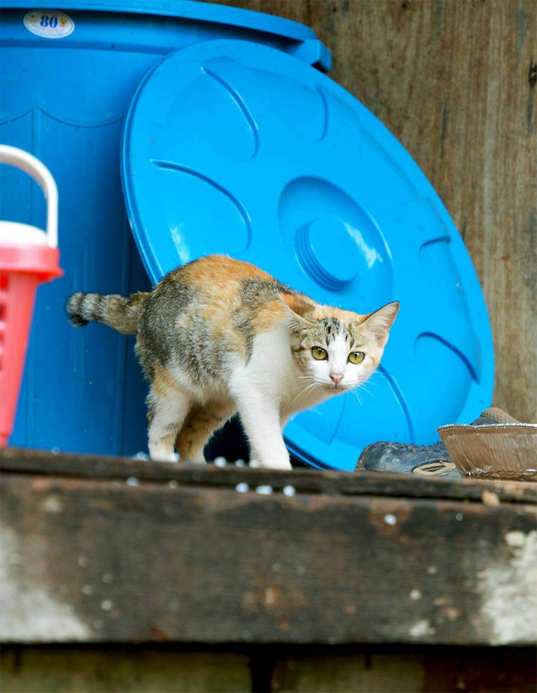 Katze Pagoda Cats - Siem Reap