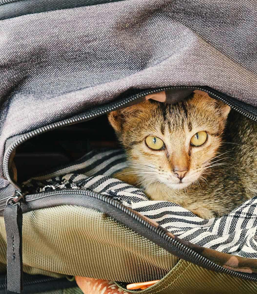 Katze in meinem Rucksack - Pagdoda Cats, Siem Reap