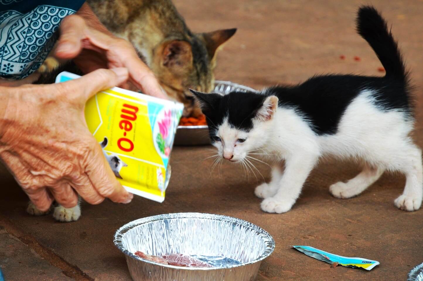 Katzen füttern - Pagoda Cats Siem Reap