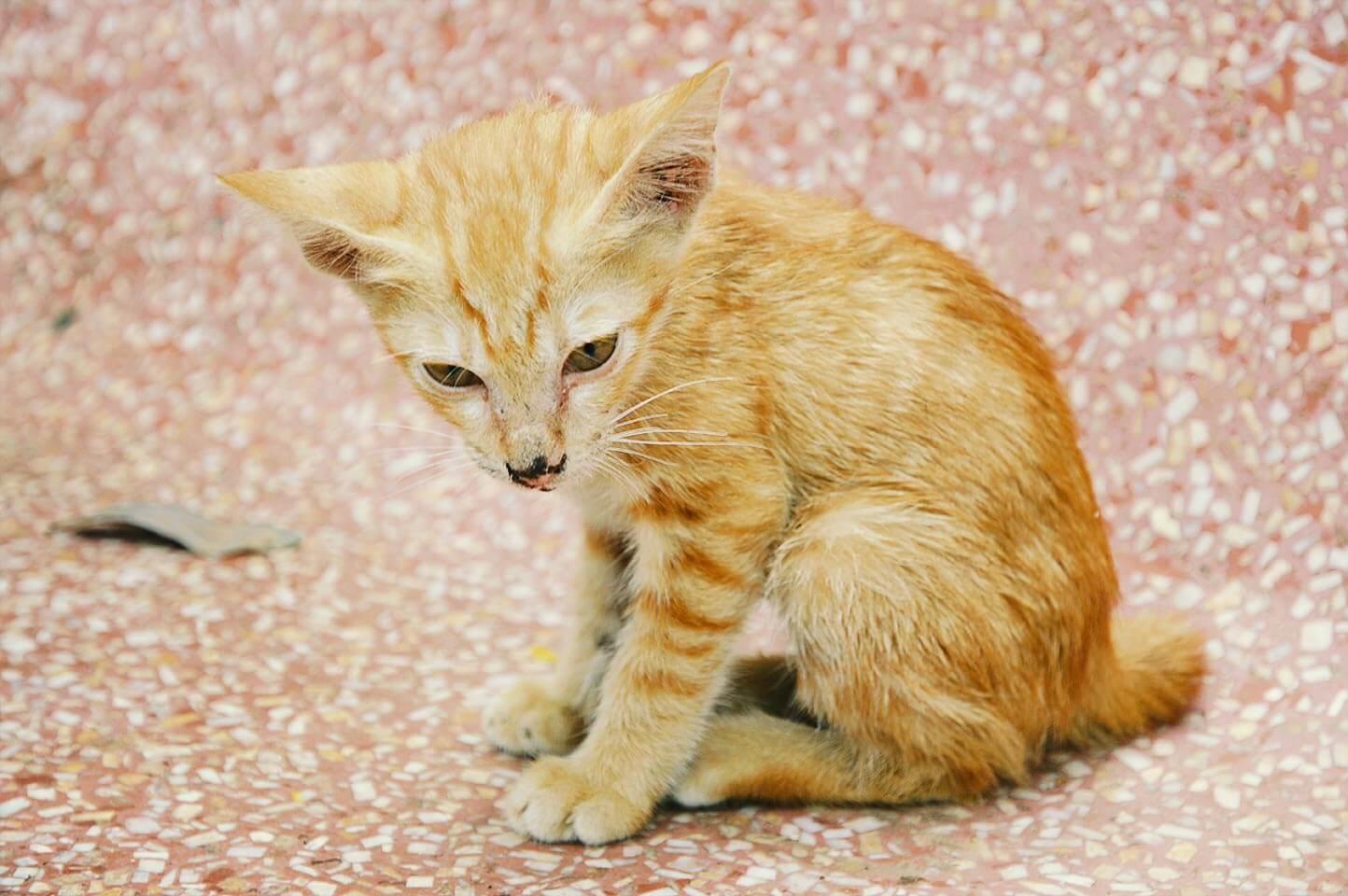 Petite Madame Inga - Pagoda Cats, Siem Reap