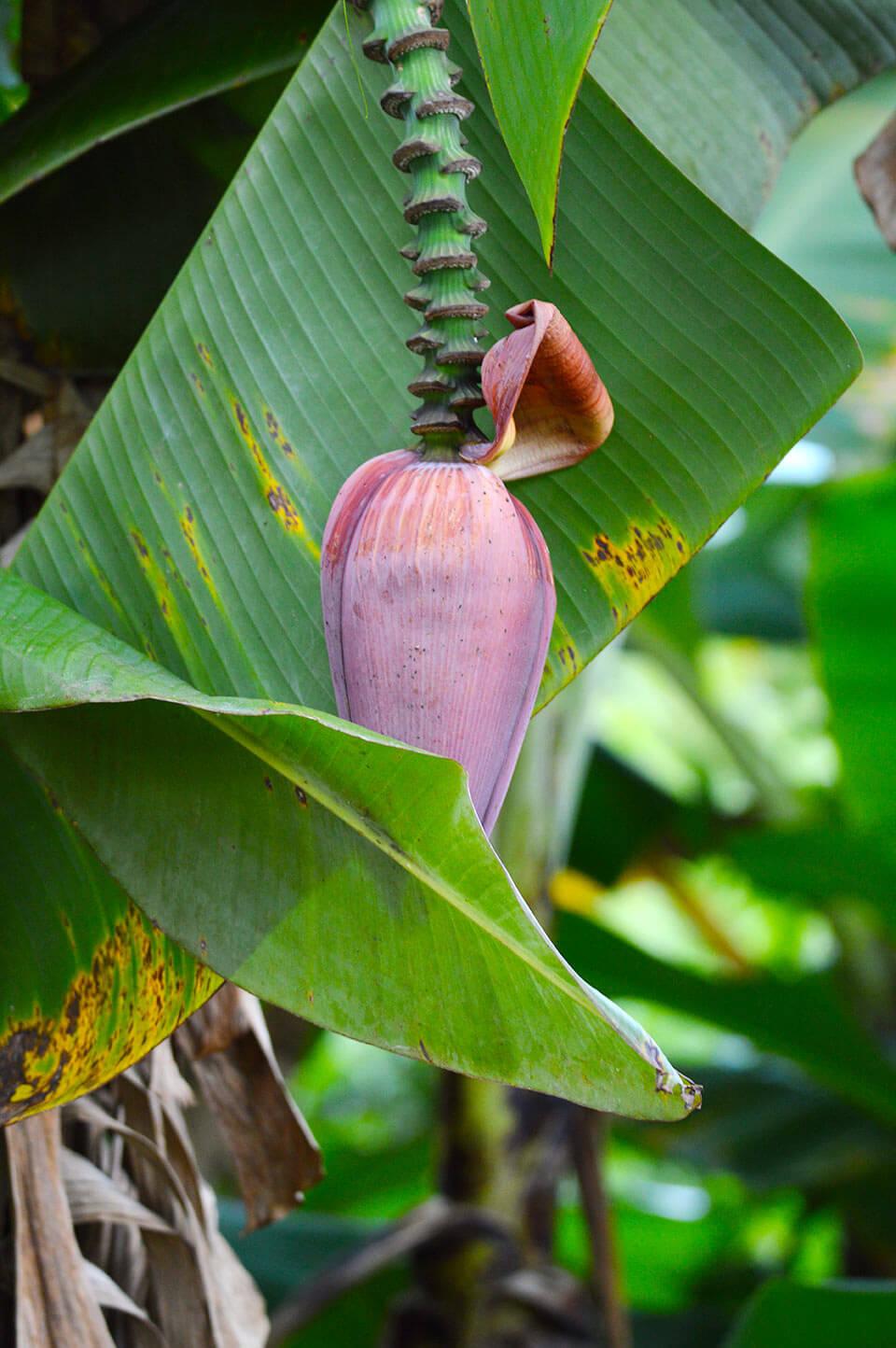 Bananenblüten auf einer Obstplantage in Kampot, Kambodscha