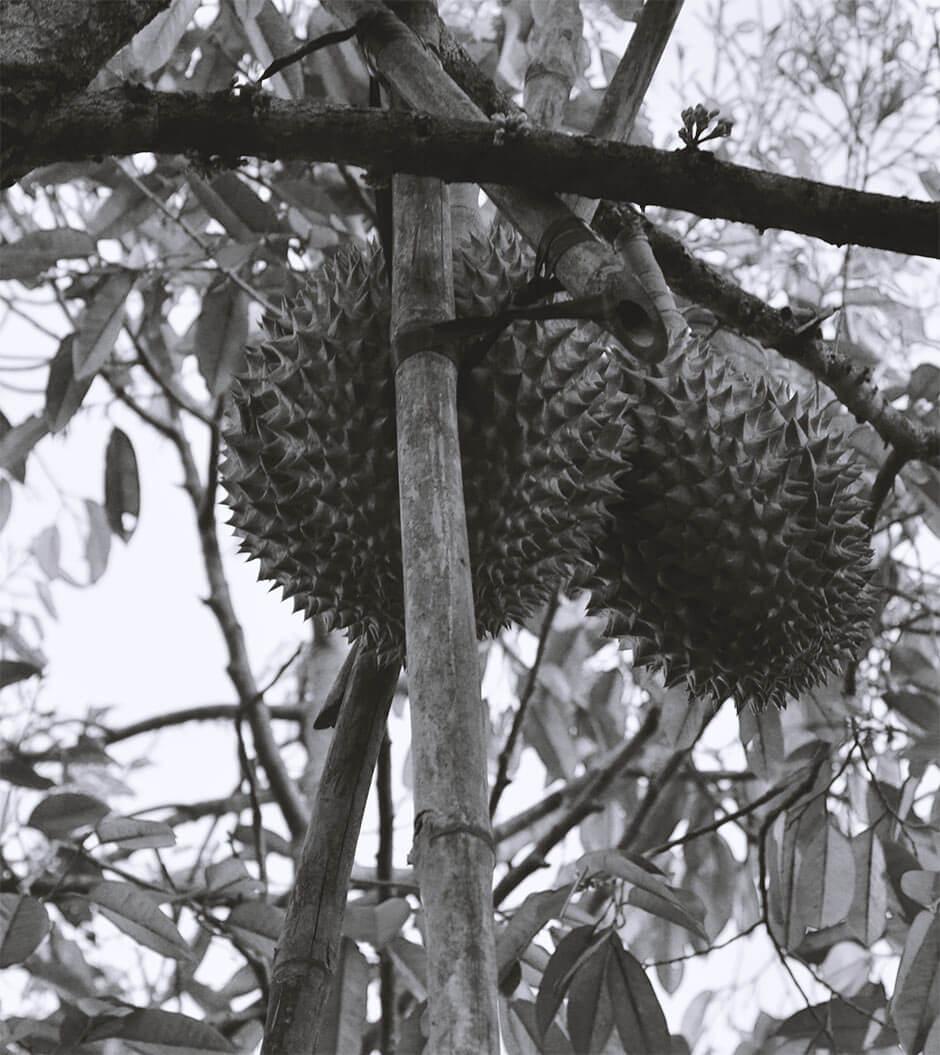 Riesige Durian auf einer Obstplantage in Kampot, Kambodscha