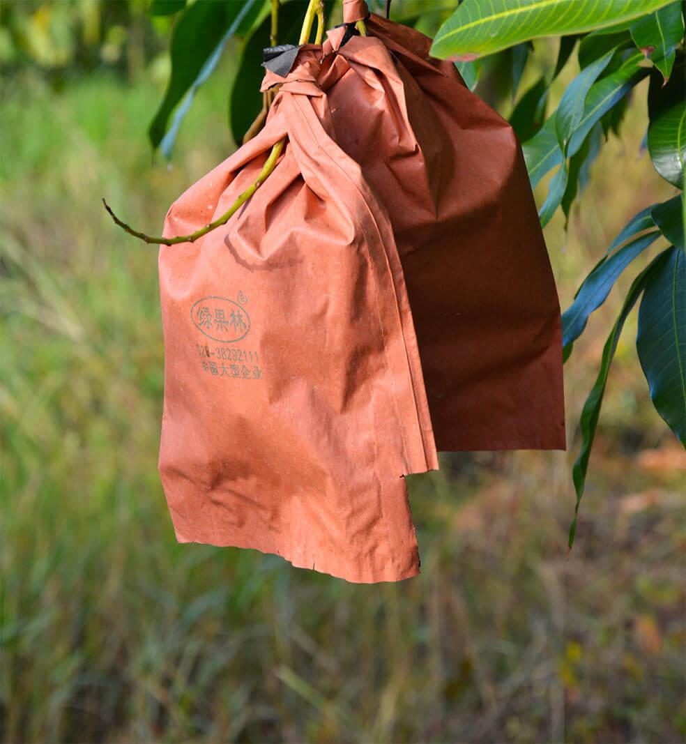 Mangos in Tüten an Bäumen auf einer Obstplantage in Kampot, Kambodscha