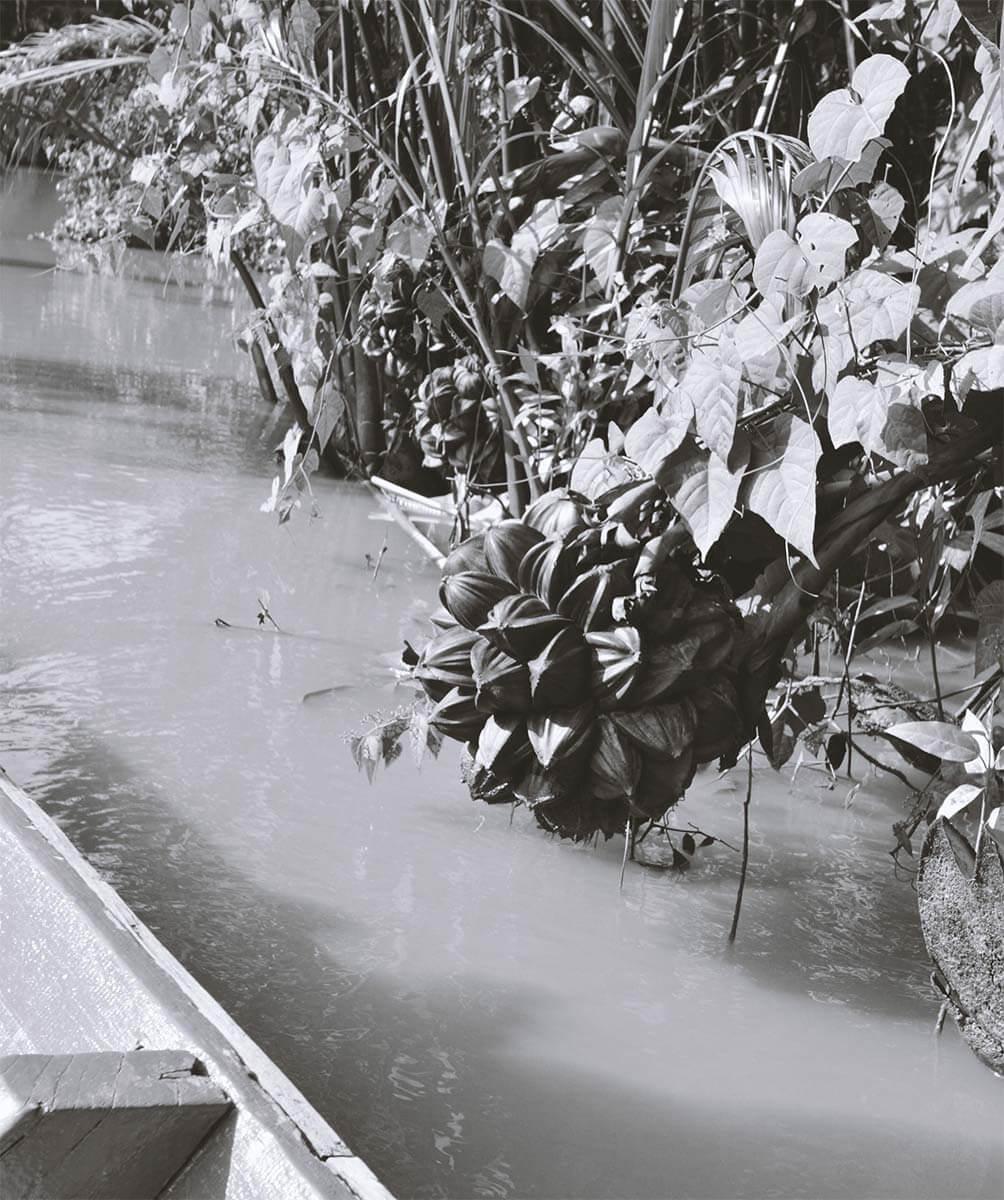 Samen einer Nipa Palme - Kampot River - Kambodscha
