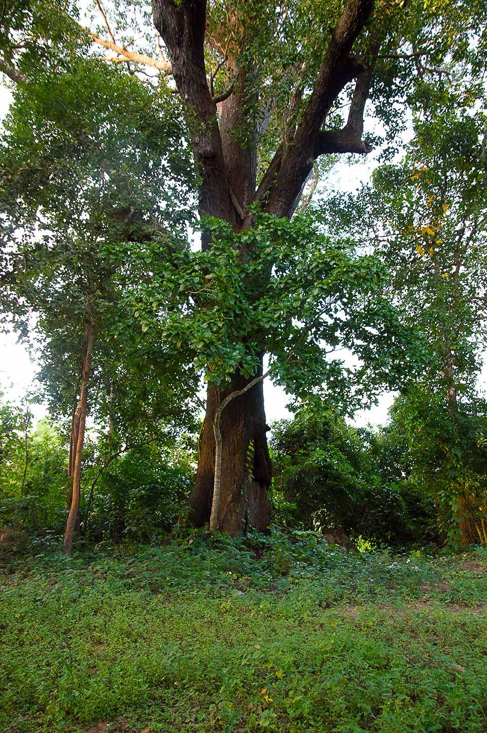 Heiliger Baum in der Leang Dai Kommune, Kambodscha