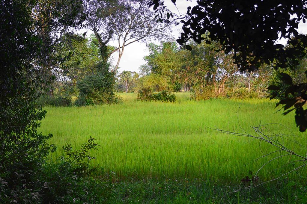 Reisfeld in der Lean Dai Kommune in Kambodscha