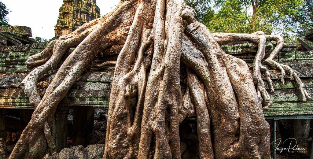 Wurzeln am Ta Prohm - Angkor Tempel