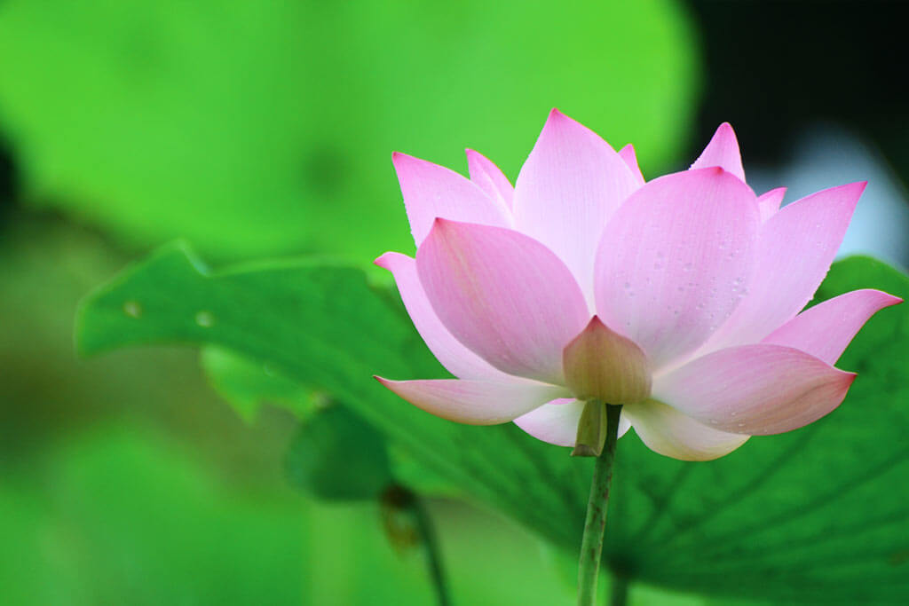 Lotusblüte am Banteay Srei Tempel