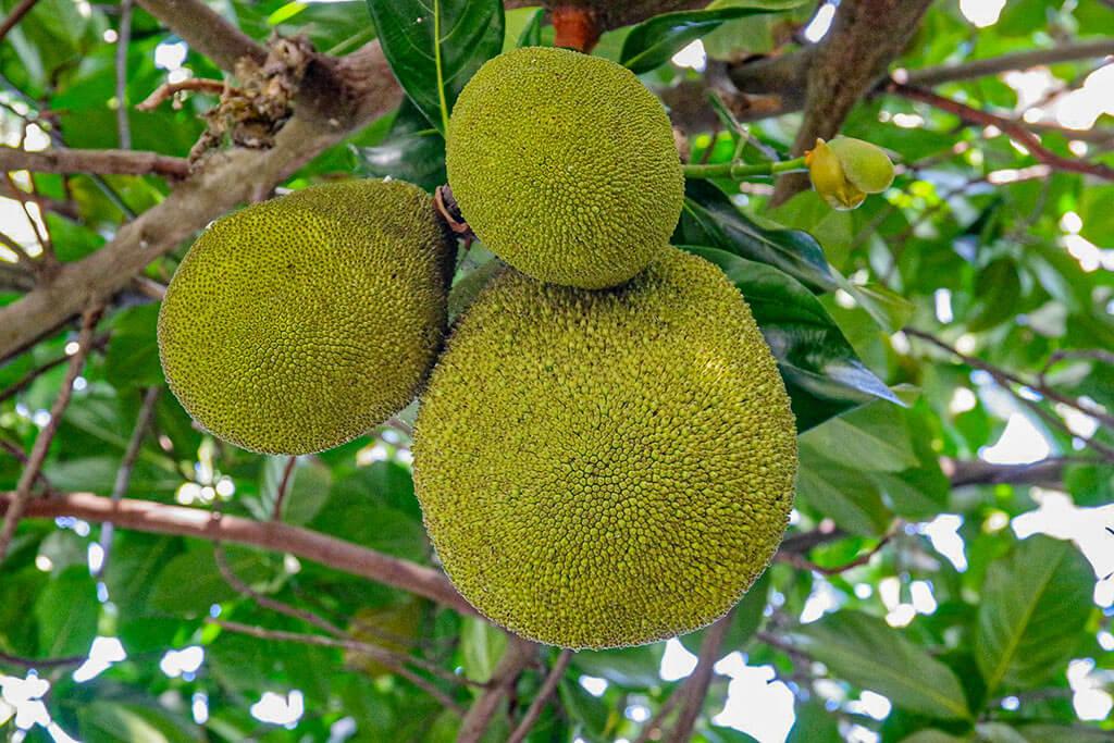 Brotfrucht - drei Früchte hängend an einem Baum