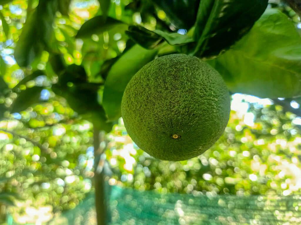 Eine Orange mit grüner Schale, die am Baum hängt