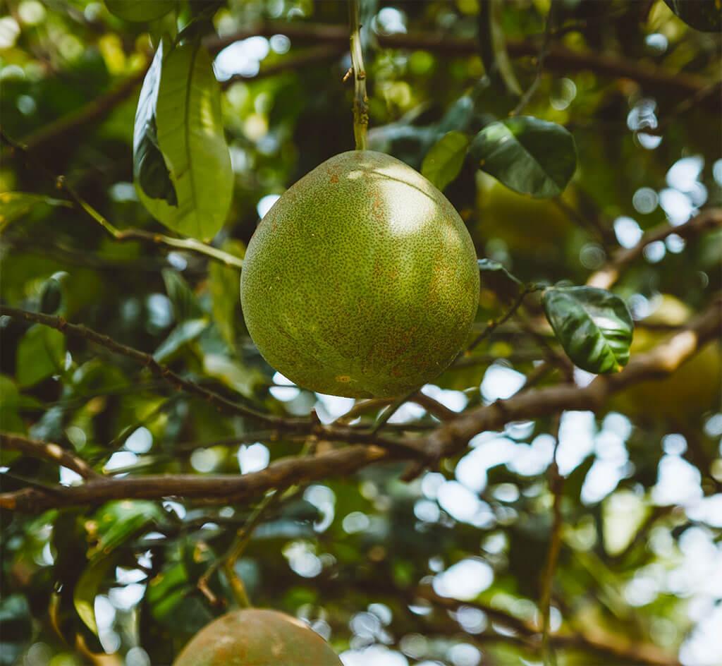 Eine grüne Pomelo, die am Baum hängt