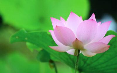 Die Wunderpflanze – Lotos!