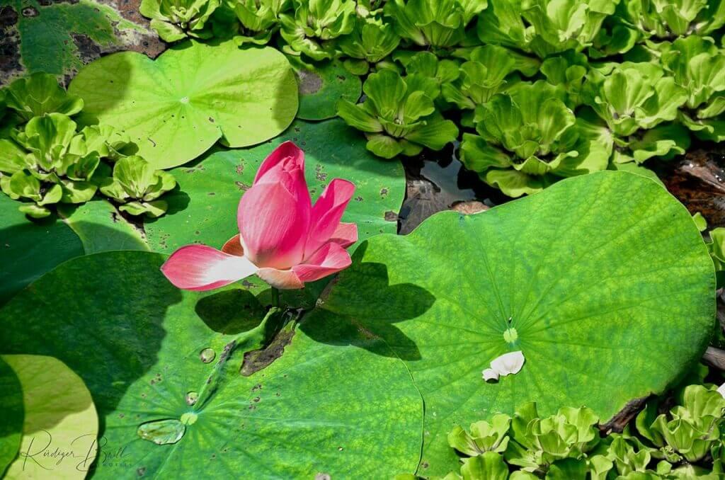 Pinkfarbene Lotosblüte