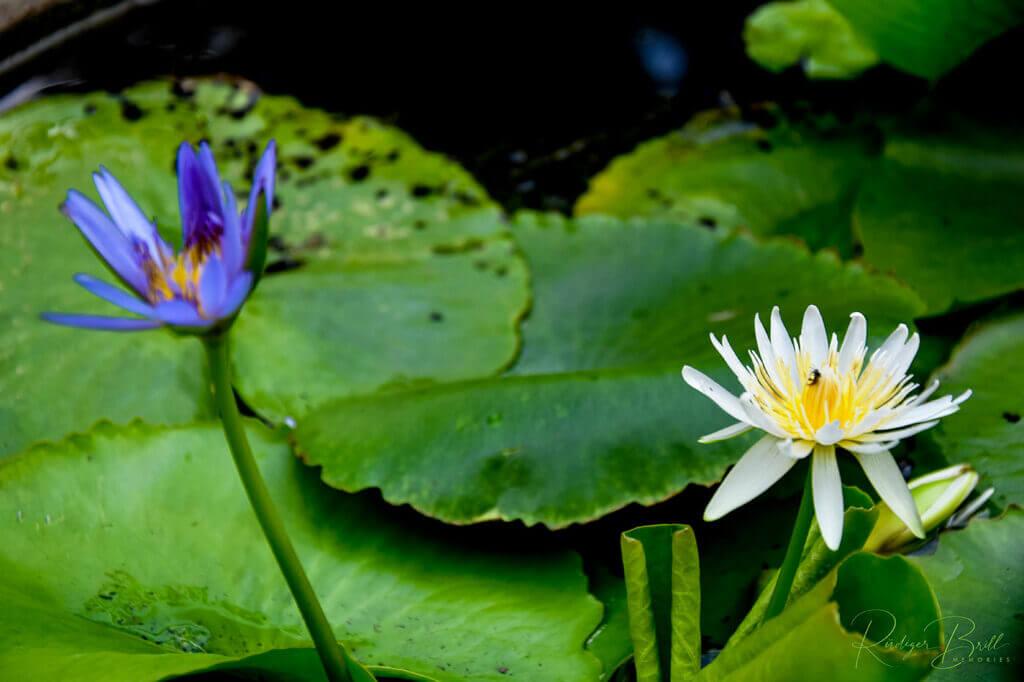 Nymphea - eine dem Lotos ähnliche und gern verwechselte Pflanze