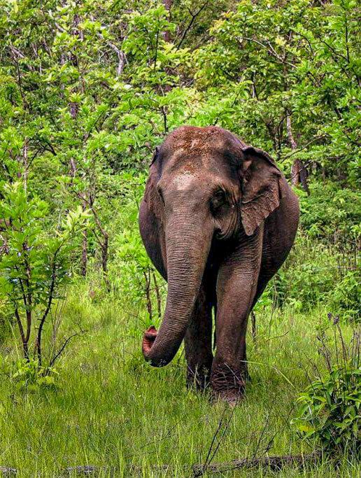 Elefanten im Reservat in Mondulkiri, Kambodscha