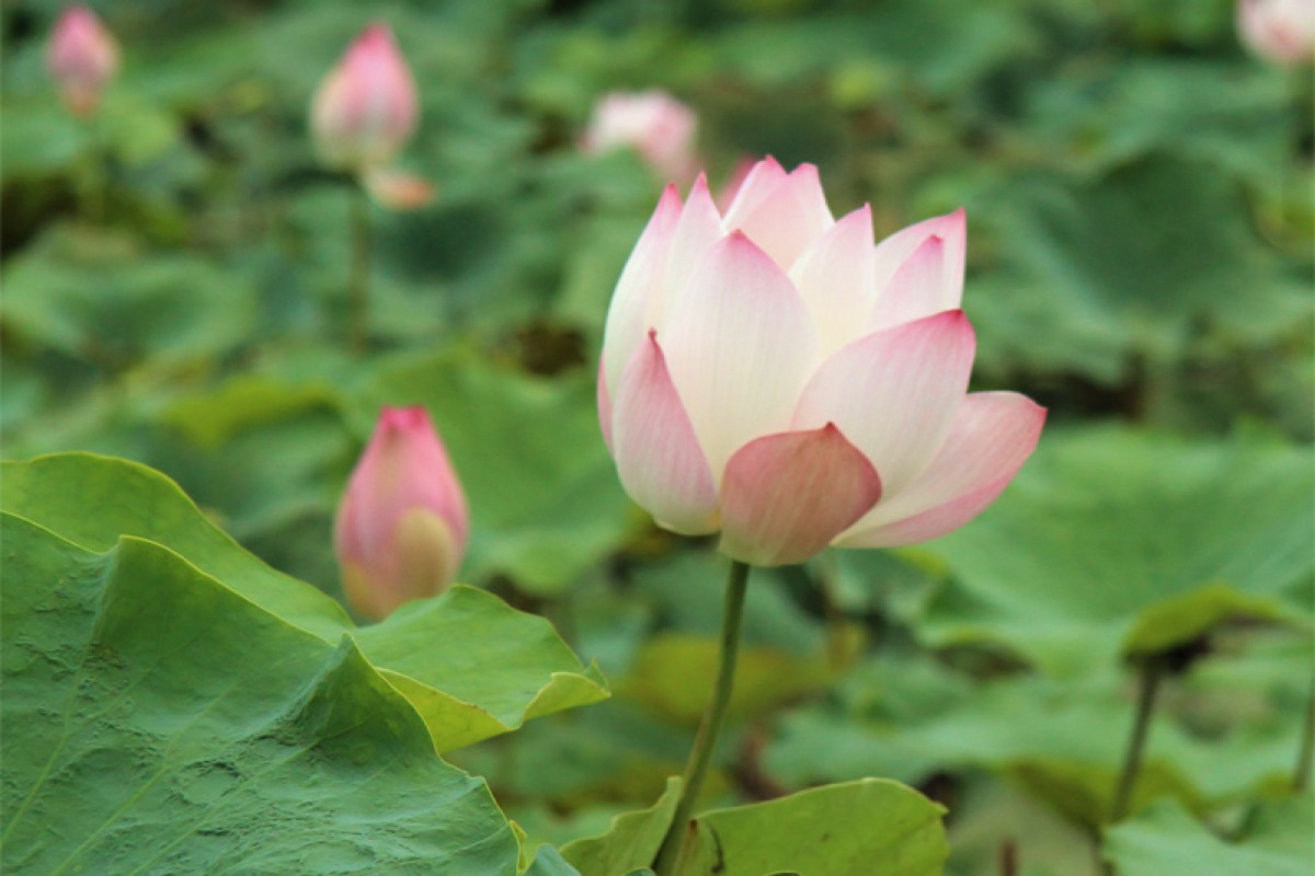 Lotus: A symbol of purity