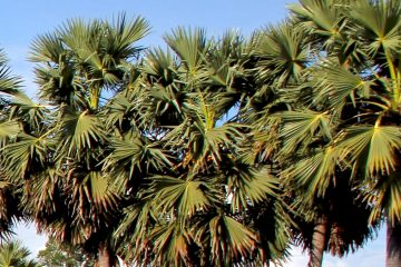 Palmtrees in Cambodia