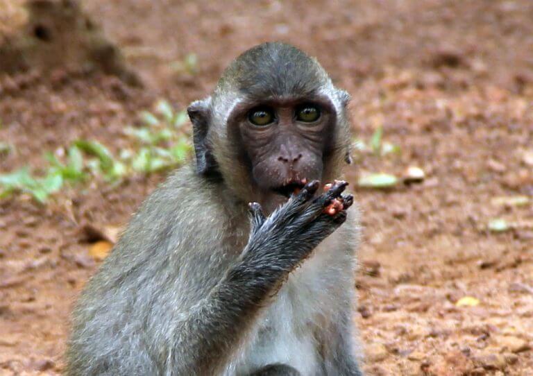 Angkor Wat and its monkeys