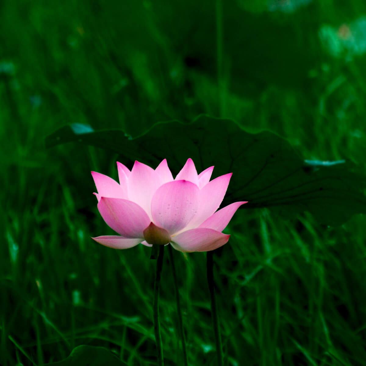 lotusbluete-kambodscha