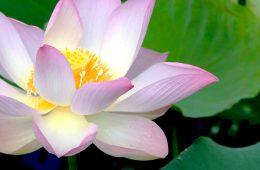 Love Lotusflower in Cambodia :-)