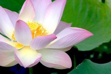 Love Lotusflower in Cambodia :-)