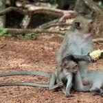 Free living monkeys at Angkor Wat