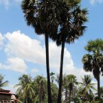 Cambodian palmtrees