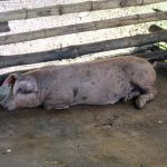 Even pigs look satisfied