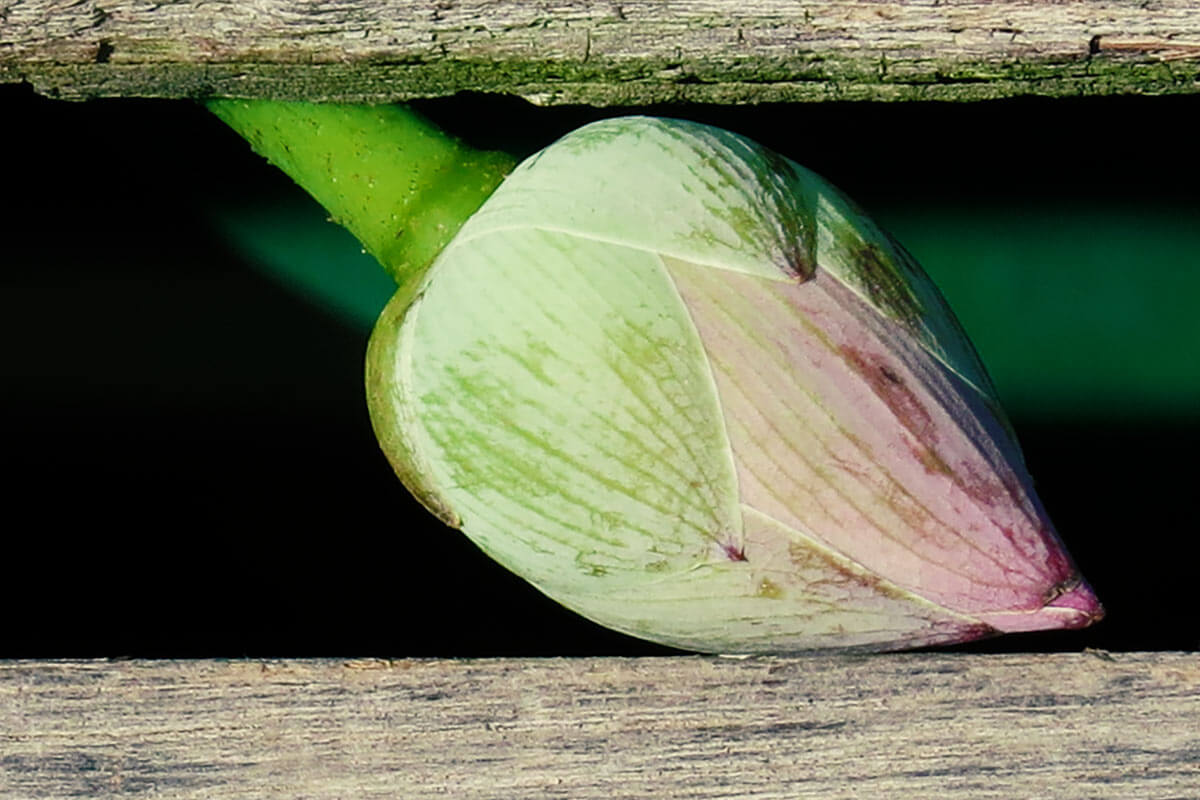 Lotus - Pretty in Cambodia