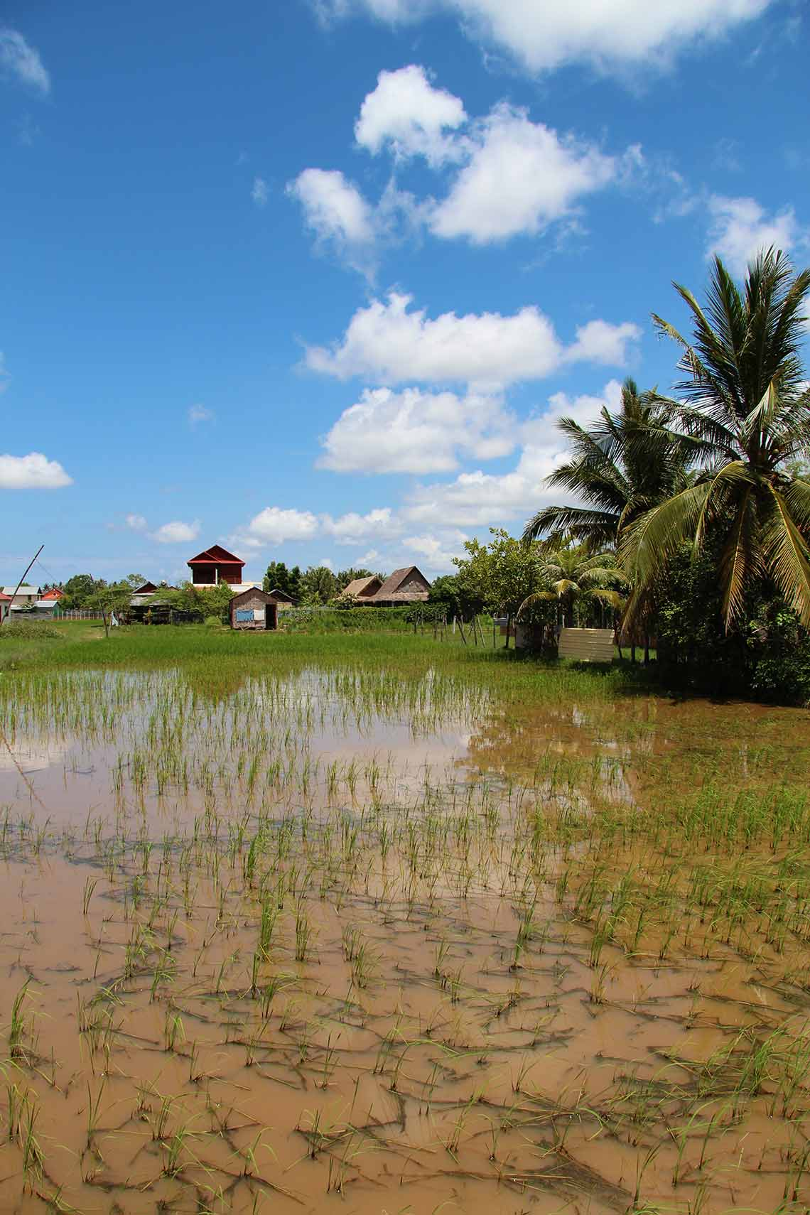 Rice field in Siem Reap