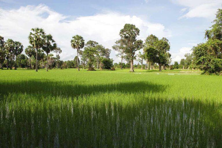 Ricefields in Siem Reap